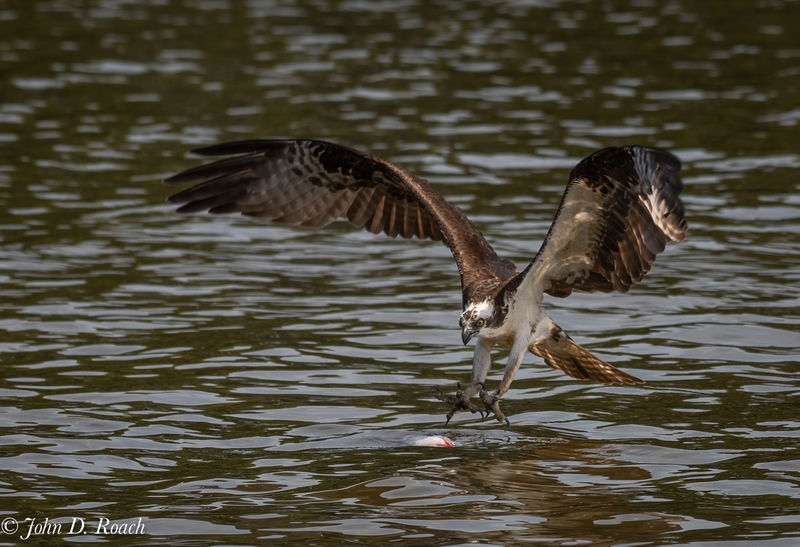Osprey_Fishing_Sequence-3