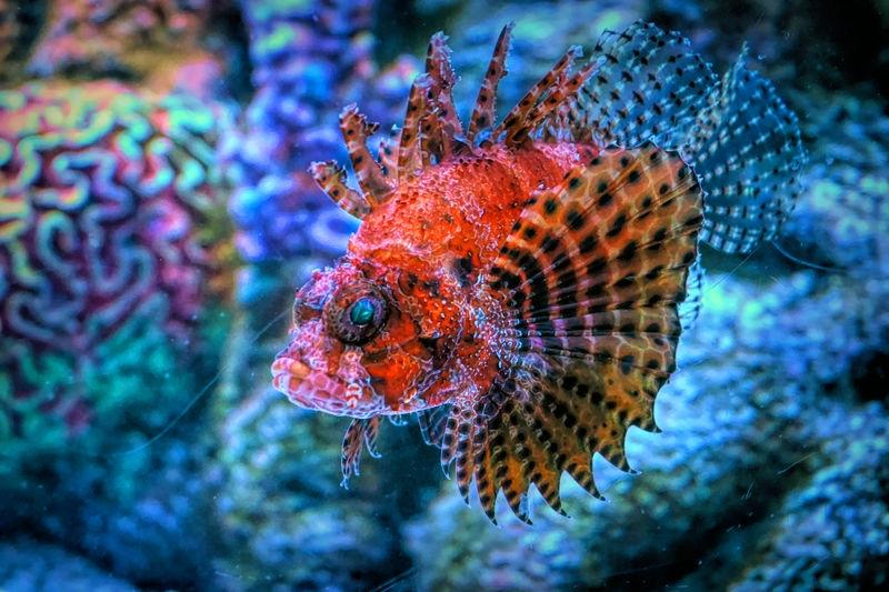 Luminous Lionfish