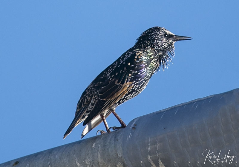 European Starling on My Morning Walk
