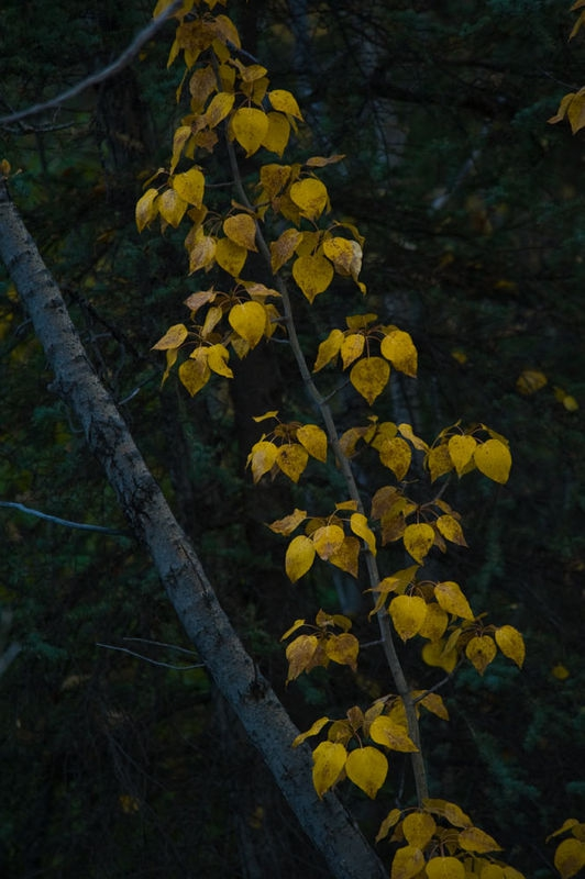 Just yellow leaves