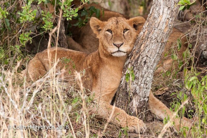 Lions_Kenya_2