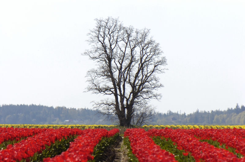 Tulips and Tree 2