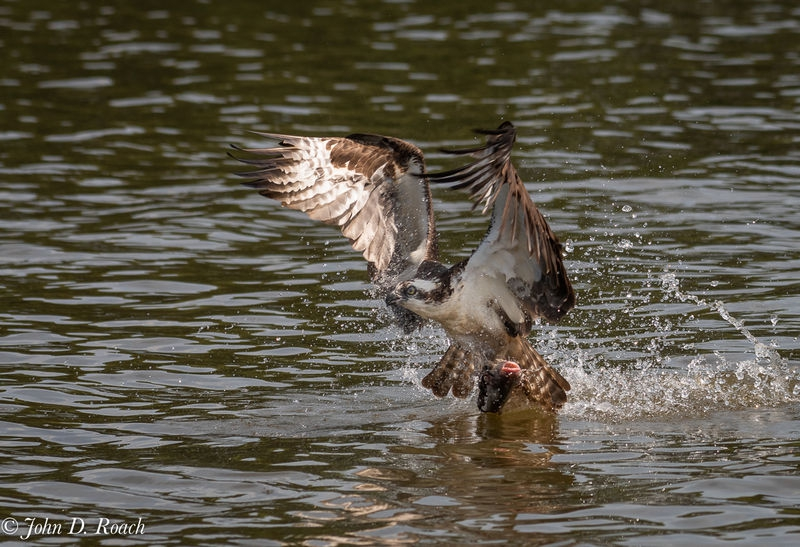 Osprey_Fishing_Sequence-7