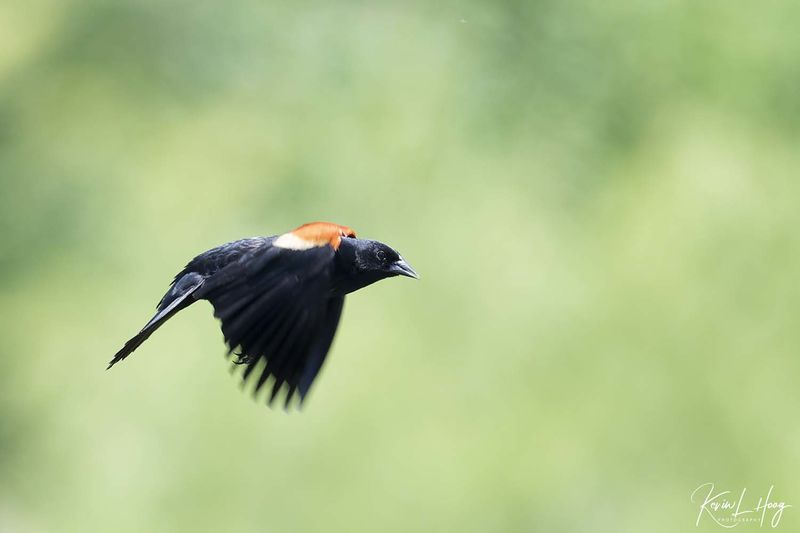 Red-Winged Blackbird in Flight and At Rest