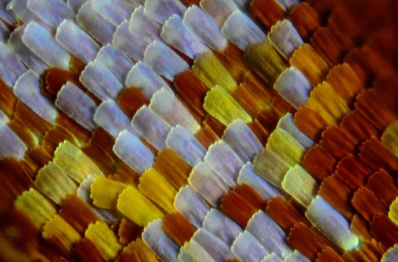 escamas de la ala de mariposa