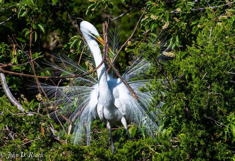 Egret Wrestling with Nesting Material