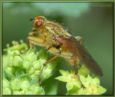Fly on Lady's Mantle