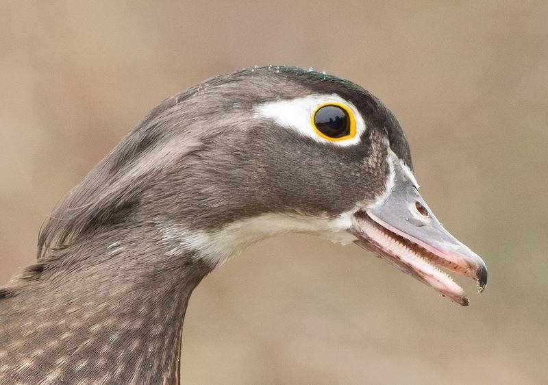 Bird's-eye View--Wood Duck Female