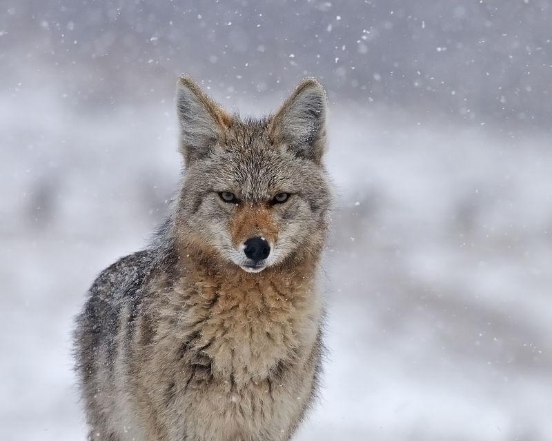Coyote Spirit Guide