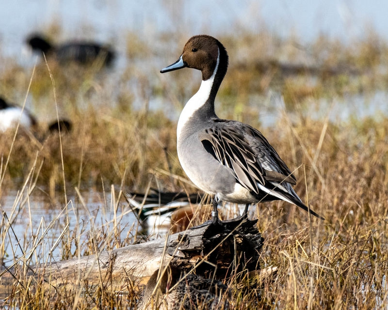 Pintail on his log