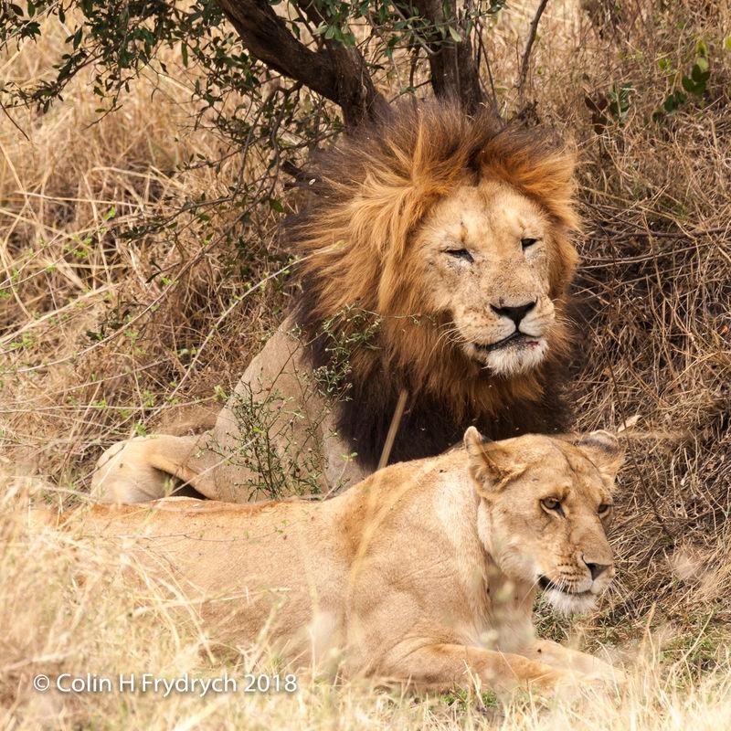 Lions_Kenya_11