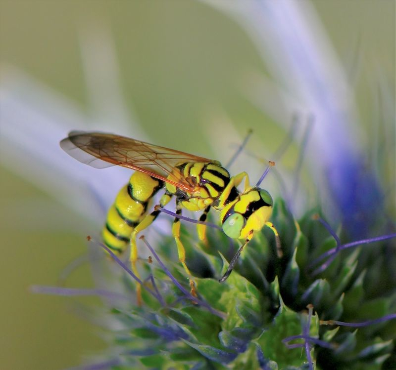 Wasp with the common name, Beewolf.