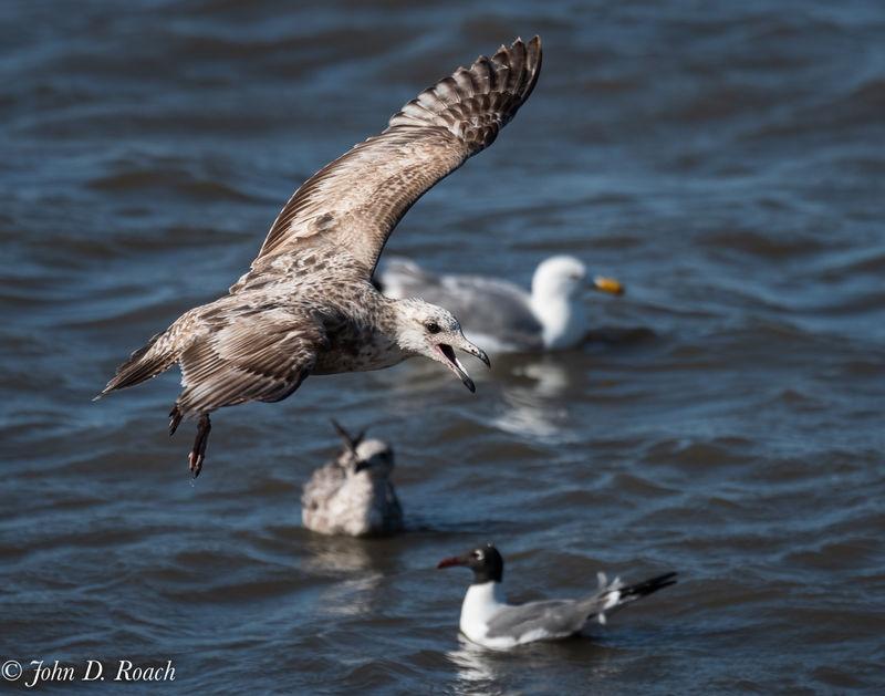 Gull at Reeds Beach