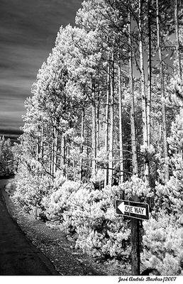 Trees IR in Yellowstone