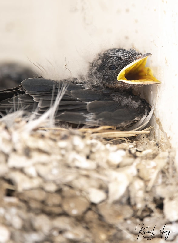 Swallow Babies Growing into Their Beaks