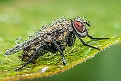 "Winner May Macro  Theme: ""bugs""   ""Wet Fly""  Nikon d300s, sigma 180 macro, iso 400, f16, 1/10sec, tripod, release"