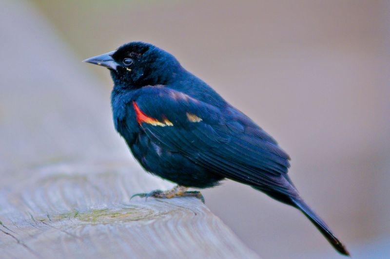 Red Winged Blackbird,Fla