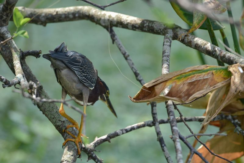 Butorides virescens-Green heron