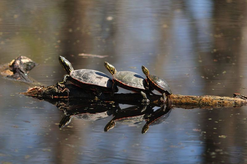 Turtles in perspective