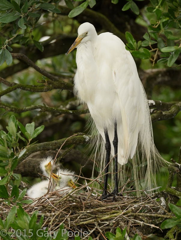 Great Egret Mother Watching over Her Chicks