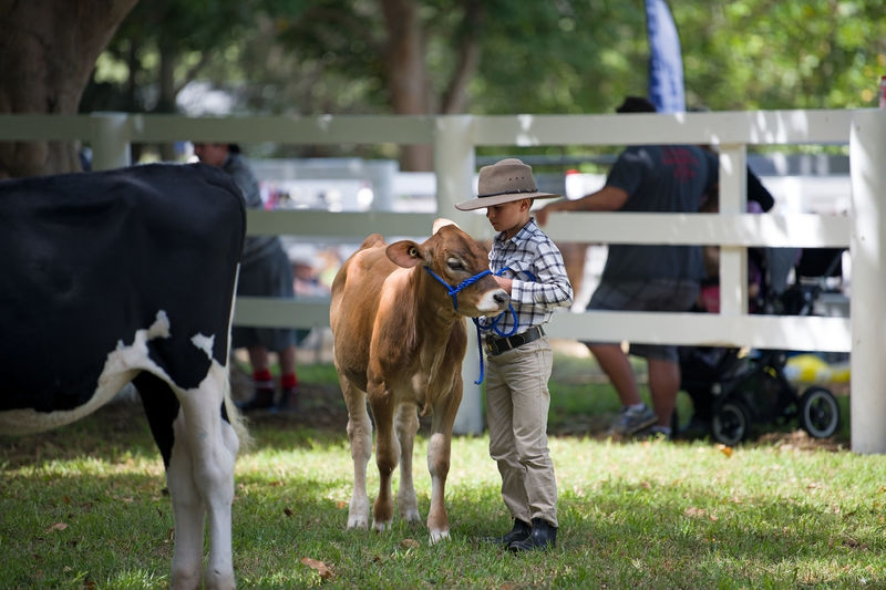 Young boy showing his cow