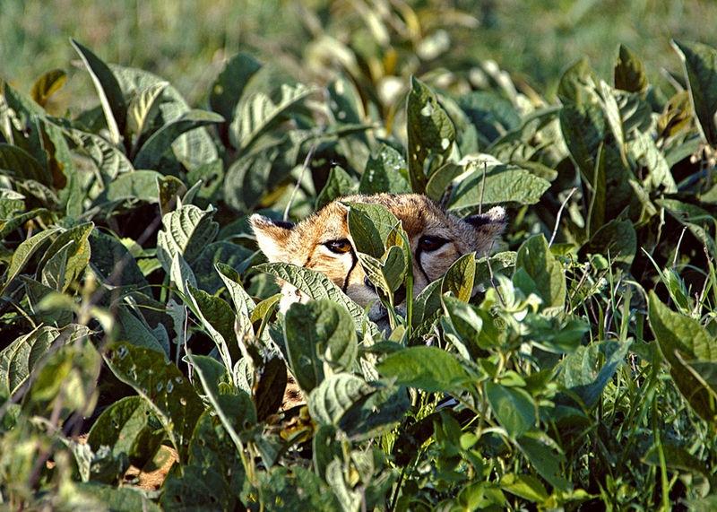 Hiding Cheetah