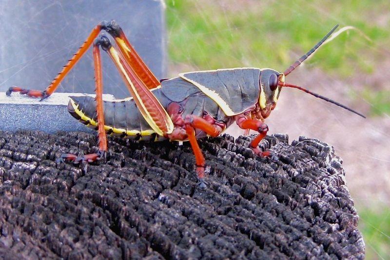 Romalea guttata,Eastern lubber grasshopper