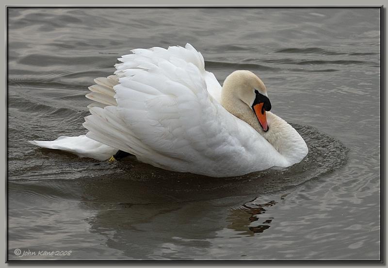 Mute Swan Classic Pose 2