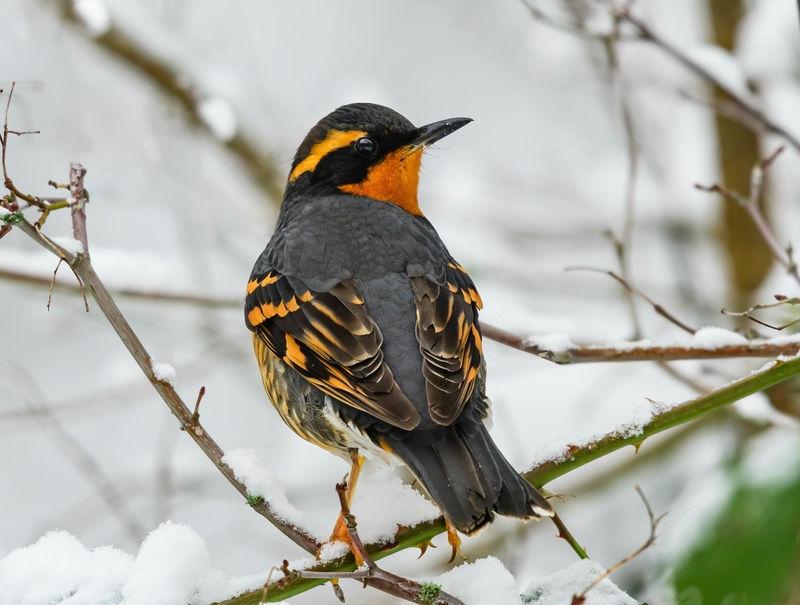 Backyard bird-Varied Thrush