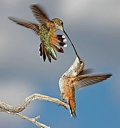 Dueling humming birds (dgoertz)