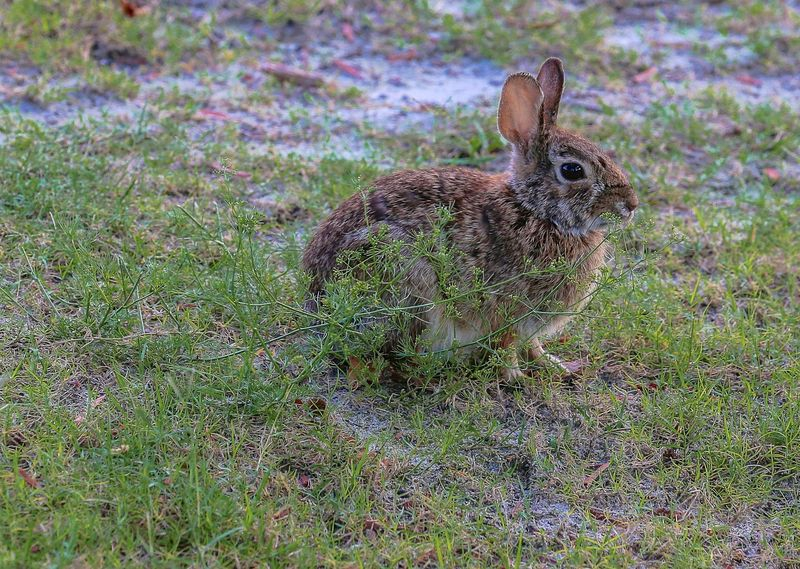 Sylivilagus palustris-Marsh Rabbit