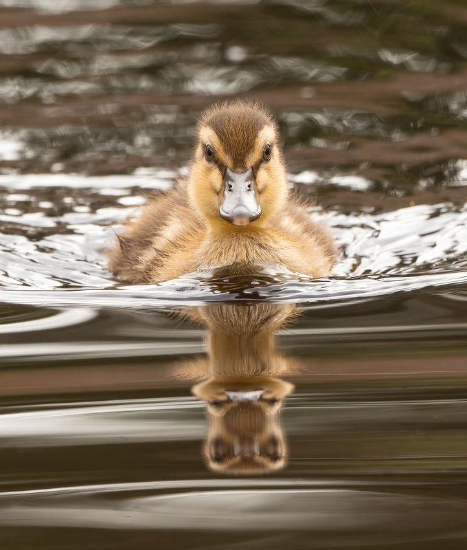 Gadwall duckling, Clark Lake, Kent, WA