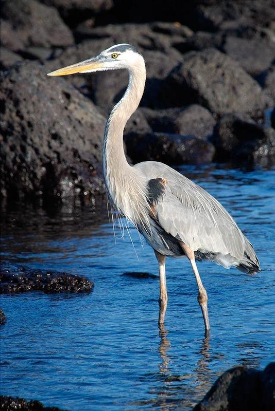 Great Blue Heron - Galapagos