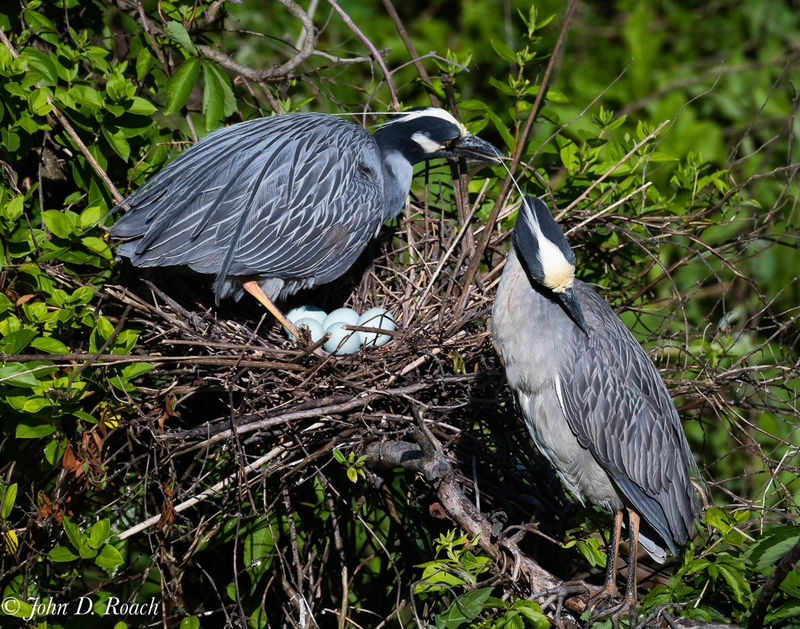 Nesting Pair of Night Herons