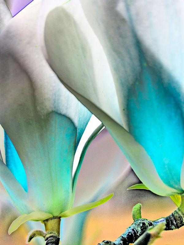 Magnolia7800
