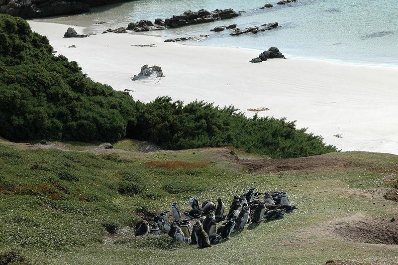 Penguins in Falklands