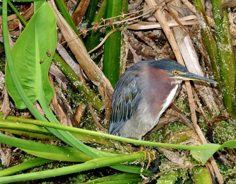 Butorides virescens,Green Heron