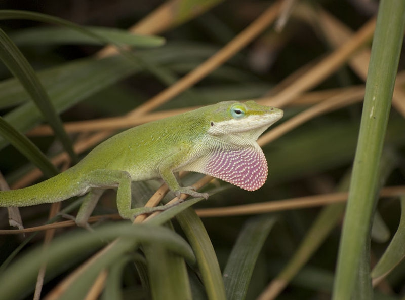 Lizard attracting attention/mate