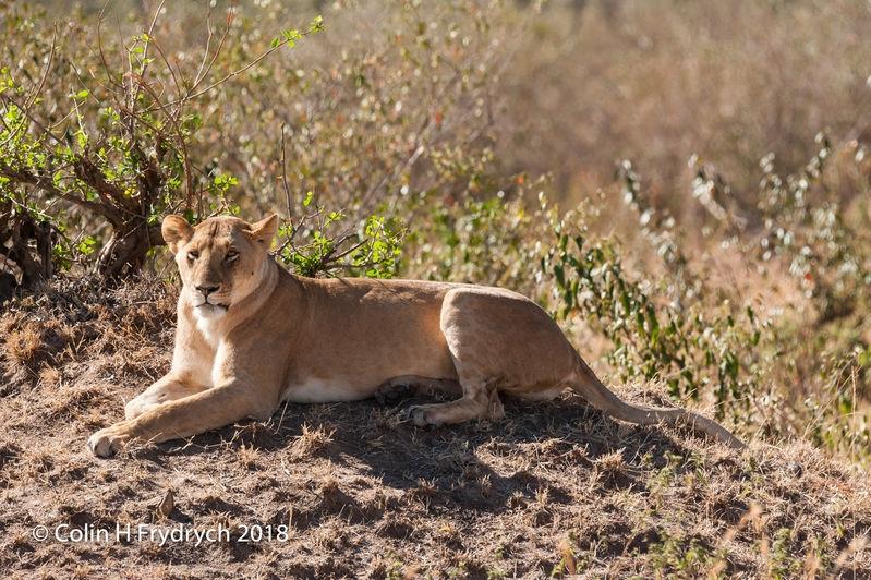 Lions_Kenya_7