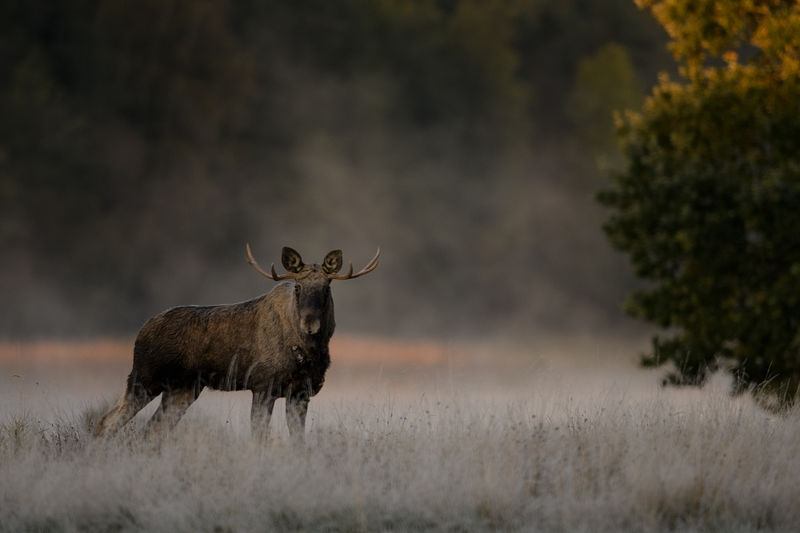 Early october morning and a moose