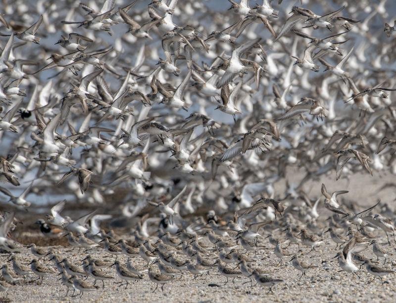 Shore birds all aflutter
