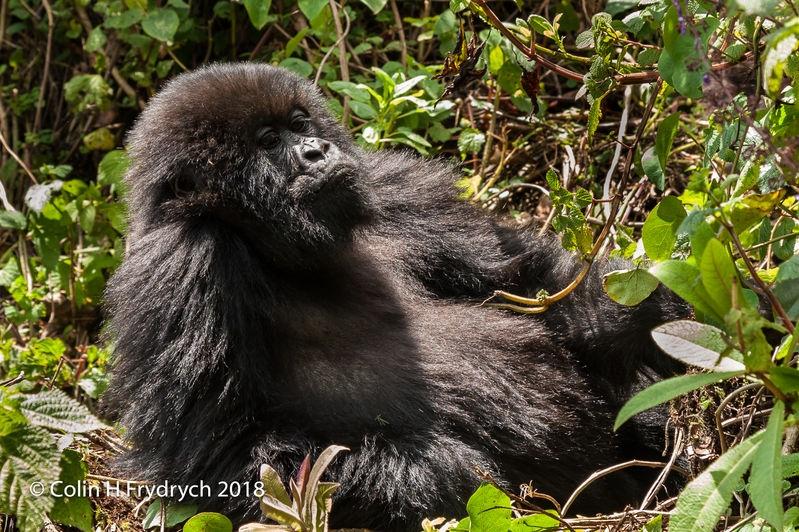 Mountain_Gorillas_Rwanda_3