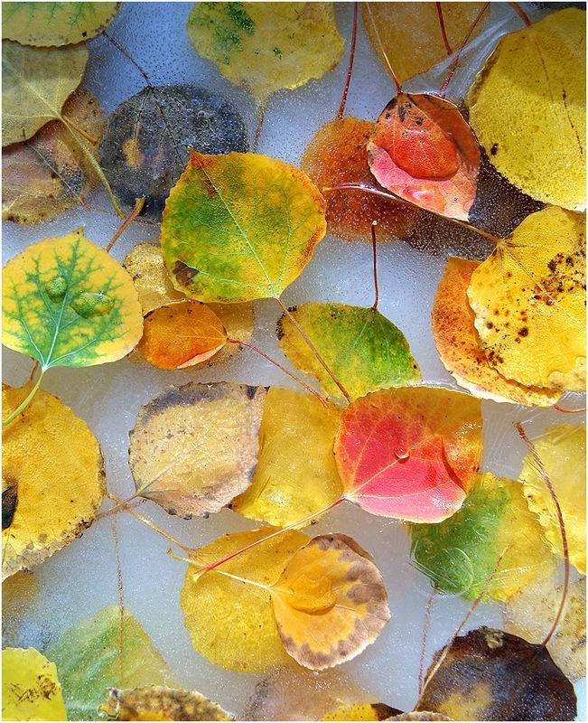 Aspen Leaves in Ice