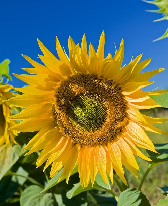 Morning Sunflower with bee
