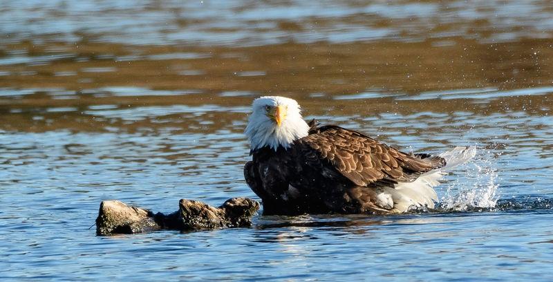 Bald Eagle bathing