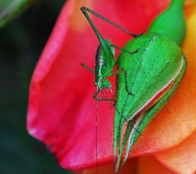 Baby Grasshopper on Rose Bud