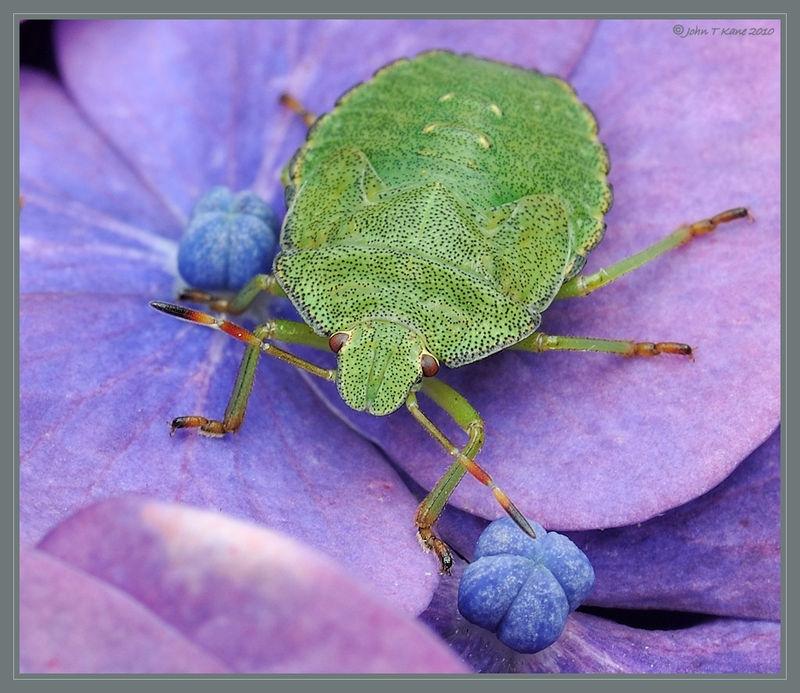 Green Shieldbug on Hydrangea