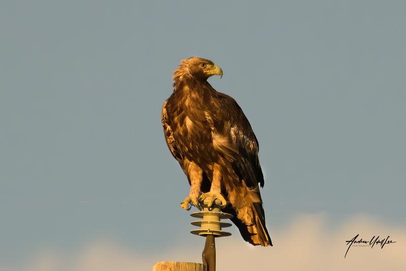Golden Eagle, golden hour.