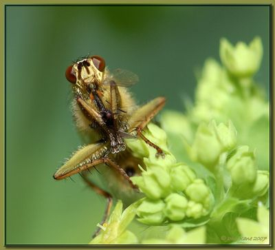 Fly on Lady's Mantle having Supper!