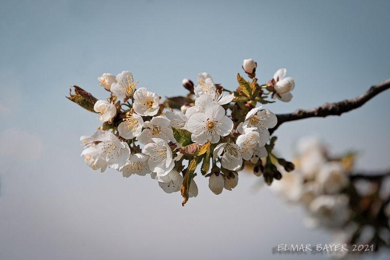 Apple_Blossom.jpg